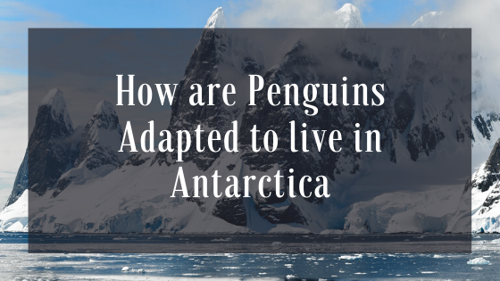 how are penguins adapted to live in antarctica