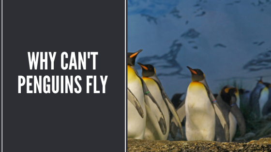 why cant penguins fly