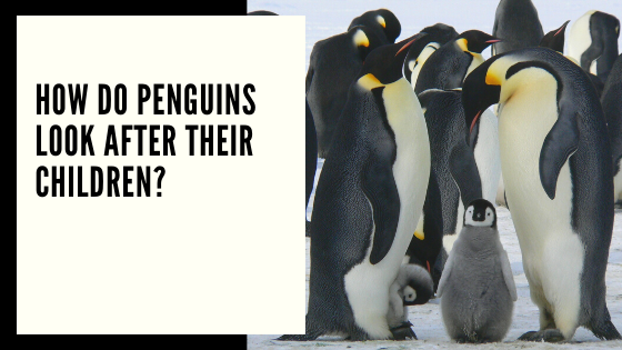 How do penguins look after their children