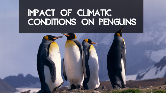 Impact of climatic conditions on penguins.
